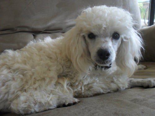 Lost White Male Toy Poodle