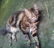 Gorgeous dark tortoiseshell rescue cat