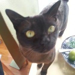 Lost Brown Burmese Cat in Balaclava