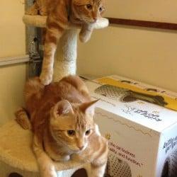 #ADOPT: Striking Ginger Classic Tabby #Kittens – Seguin, #Texas 78155 #USA