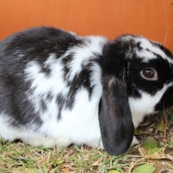 LOST BLACK AND WHITE RABBIT WERRIBEE APRIL 2014