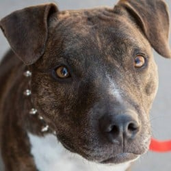 #ADOPT Pit-bull Mix, owner terminally ill – Fort Collins Colorado USA 80521