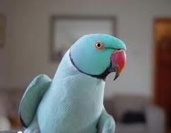 blue indian ring neck parakeet