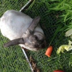 Found Rabbit Dwarf Lop
