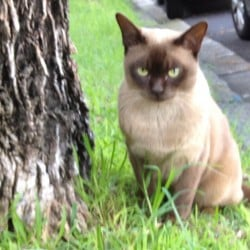 MISSING – Burmese Cat from Stanmore