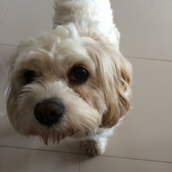 """MISSING – White Cavoodle """"Daisy"""""""