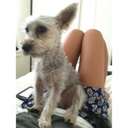 Lost Silky Terrier from Leichhardt NSW