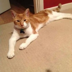 Fred Lost Cat Wordsley Stourbridge UK