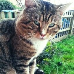 Tabby Cat Found Walthamstow UK