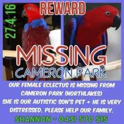 Lost Red ECLECTUS Parrot Cameron Park
