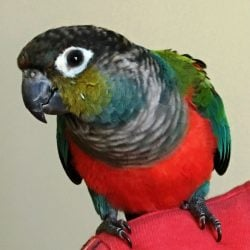 Red Belly Conure