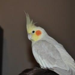 lost cockatiel