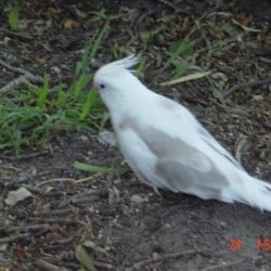Lost Cockatiel Bird from VIC