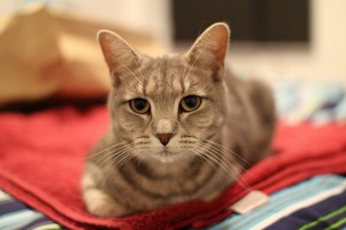 how to neuter a cat procedure