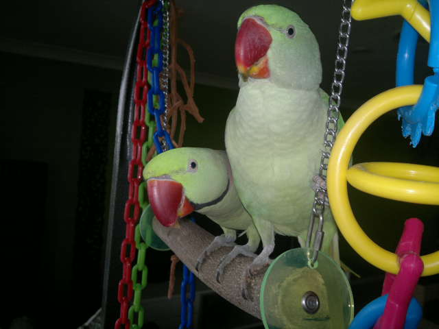 Lost Alexandrine Parrots – 1 Male, and 1 Female