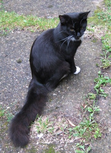 Lost Black And White Cat Missing
