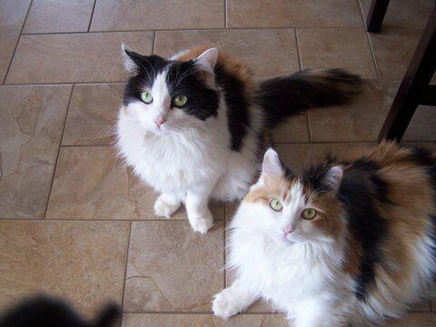 #REHOMED! – 2 Turkish Van Cats – Nova Scotia, Canada 780
