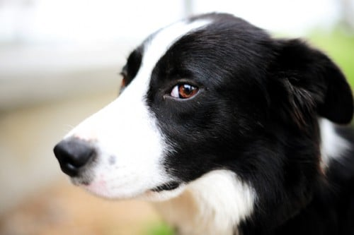 #REUNITED – stray #BorderCollie #dog – Mosman #NSW 2088