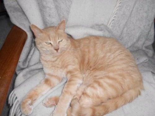 Lost Cat Overlund Viborg Denmark