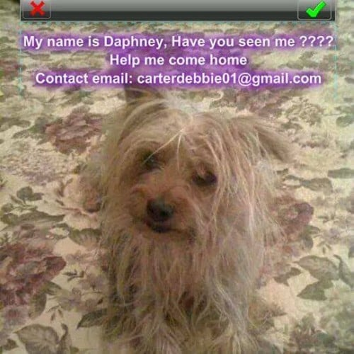 Stolen Yorkie Terrier Therapy Dog Lost Longbeach
