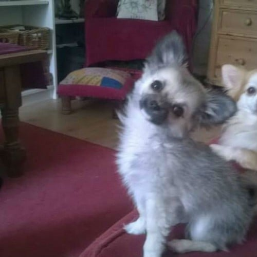 Lost Long Haired Chihuahua Puppy