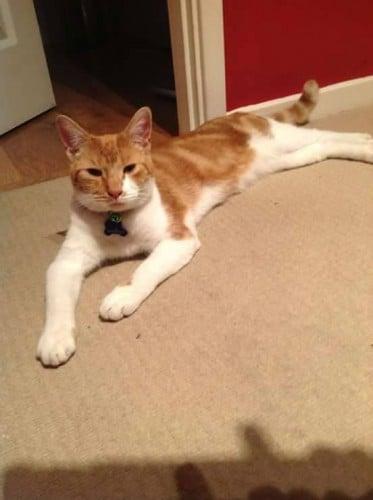 Fred Lost Cat Wordsley Stourbridge UK