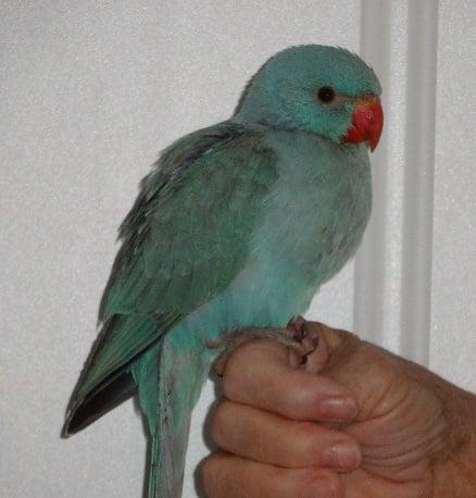 Lost Quaker Parrot Found Croydon Melbourne VIC