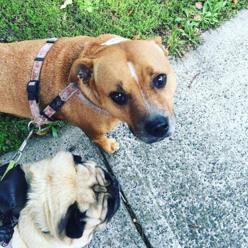 Big Dog Rescue Sydney