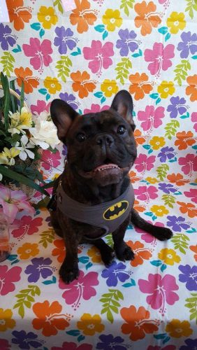 Batman Lost French Bulldog San Diego USA
