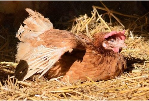 Hen fresh out of her cage