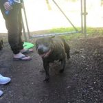 Blue Staffy Found Canberra ACT
